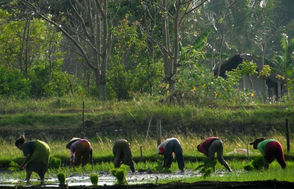 Petani Desa Biruk Taman Kembali Tanam Padi